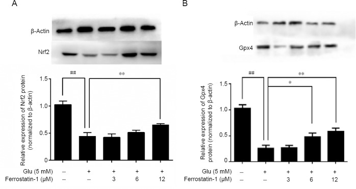 Effect of ferrostatin-1 on the expression of Nrf2 (A) and Gpx4 (B) after Glu treatment in HT-22 cells. Western blot data represent as the mean ± SD. ## P