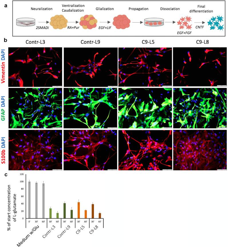 Generation of functional astrocytes from C9-mutated and control iPSC lines. (a) Schematic presentation of the protocol for induction of astrocyte differentiation. iPSC colonies cultured on feeders were detached for further differentiation as floating spheres in non-adherent plates. Initial neuralization was induced by dual SMAD inhibitors (2SMADi) SB431542 and Dorsomorphin. Further caudalization of the neural progenitor spheres was promoted by retinoic acid (RA) and ventralization by Purmorphamine (Pur). Enrichment for glial progenitors was induced by culture in the presence of epidermal growth factor (EGF) and leukemia inhibitory factor (LIF). The neural spheres were then dissociated, and the cells were plated and further cultured as a monolayer in the presence of EGF and basic fibroblast growth factor (bFGF). Final differentiation to astrocytes was induced in the presence of ciliary neurotrophic factor (CNTF). Please see details in the Methods. (b) Representative immunofluorescence images of C9-mutated (C9-L5, C9-L8) and control (Contr-L3, Contr-L9) astrocytes decorated with anti-Vimentin (red), glial fibrillary acid protein, (GFAP; green), S100β (green) at day 30 of final differentiation (dFD). Nuclei (blue) are counterstained with DAPI. Scale bars: 100 µm. These experiments were repeated 5 independent times with similar results. c. Histogram presentation of glutamate uptake assay showing that control (Contr-L3, Contr-L9, green bars) and mutated (C9-L5, C9-L8, orange bars) astrocytes uptake l -glutamate from the media at the same rate after 30 and 60 min. The results are normalized to the initial concentration of l -glutamate (50 µM). Data are represented as mean ± SEM of 3 independent experiments with astrocytes at 30–40 dFD. (For interpretation of the references to colour in this figure legend, the reader is referred to the web version of this article.)