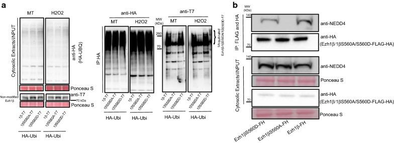 Ezh1β Serine 560 phosphorylation is required for interaction between Ezh1β and NEDD4. a Poly-ubiquitination profiles of Ezh1β-T7, Ezh1βS560A-T7 and Ezh1βS560D-T7 under normal and oxidative stress conditions. HA-ubiquitin/Ezh1β-T7, HA-ubiquitin/Ezh1βS560A-T7 and HA-ubiquitin/Ezh1βS560D-T7 indicate C2C12 cell lines co-expressing HA-Ubiquitin and different forms of Ezh1β-T7 fusion proteins. Total proteins were extracted from these indicated stable cell lines. Ubiquitinated total proteins and ubiquitinated different Ezh1β forms were immunoprecipitated with HA agarose beads. Samples were eluted with HA peptide and running SDS-PAGE, anti-HA and anti-Ezh1β were used to detect total ubiquitinated proteins and ubiquitinated Ezh1β or mutant Ezh1β forms. 100 μM MG-132 was added and treated for 4 h before protein extraction. Ponceau S staining was used as loading control. b Interaction between NEDD4 and different forms of Ezh1β: Ezh1β, Ezh1βS560A and Ezh1βS560D. Cytosolic proteins were extracted and tandemly immunoprecipitated with Flag and HA agarose beads. NEDD4 antibody was used for immunoblotting analysis. Ponceau S staining was used as loading control