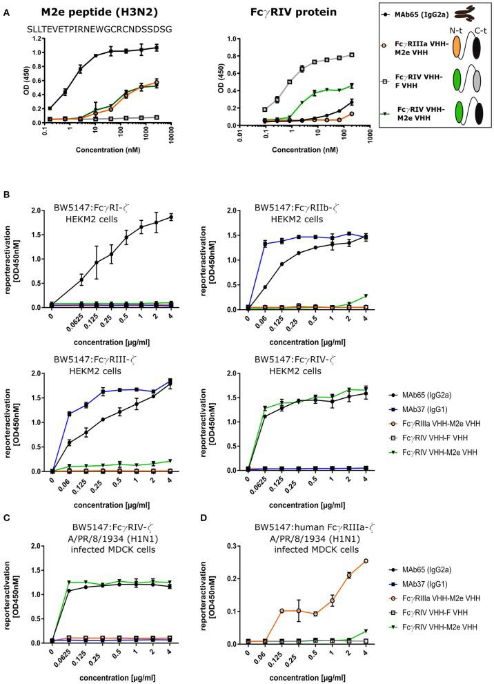 Bispecific fusion construct of anti-mouse FcγRIV VHH with M2e-VHH-23m selectively activates FcγRIV in vitro . (A) Schematic representation of the bispecific VHHs and ELISA on human H3N2 M2e peptide and recombinant FcγRIV protein is shown on the right. Wells of microtiter plates were coated with 100 ng peptide or protein. Dilution series of the bispecific VHH fusion constructs were added to the coated plates. Binding was detected with a mouse anti-His tag MAb, followed by a secondary sheep anti-mouse IgG Ab conjugated to HRP for the peptide ELISA. In the ELISA with coated recombinant FcγRIV protein, binding was detected with a HRP-conjugated rabbit anti-camelid VHH antibody. (B) Serial dilutions of the bispecific VHH fusion construct or monoclonal antibodies were added to HEK293T cells stably transfected with an influenza M2 expression plasmid. Thirty minutes later, FcγR-ζ BW5147 reporter cells were added to the HEK293T cells. After overnight incubation produced mIL-2 was measured in a sandwich-ELISA, which served as an indicator for the magnitude of FcγR activation. (C) MDCK cells were infected with A/Puerto Rico/8/1934 (H1N1) virus for 1 h. Unbound virus particles were washed away and serial dilutions of the bispecific VHHs or monoclonal antibodies were added and incubated for 30 min, followed by the addition of the FcγRIV-ζ BW5147 reporter cells (C) or human FcγRIIIa-ζ BW5147 reporter cells (D) . After overnight incubation supernatants were analyzed by an anti mIL-2 sandwich ELISA. Data points represent averages of triplicates and error bars represent standard deviations. The graphs are a representative of one out of three repeat experiments.