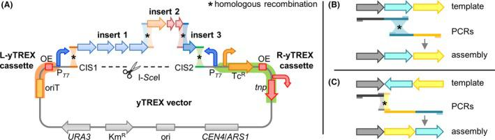 Schematic of the gene cluster assembly in the yTREX vector. A. The yTREX vector backbone comprises replication elements and selection markers for E. coli (ori, pMB 1 origin of replication; Km R , kanamycin resistance gene) and yeast ( CEN 4 / ARS 1 , S. cerevisiae centromere region and autonomously replicating sequence; URA 3 , orotidine 5′‐phosphate decarboxylase gene) and the yTREX cassettes. L‐ yTREX (orange): oriT, origin of transfer; OE , outside end of transposon Tn5; P T 7 , T7 bacteriophage promoter, R‐ yTREX (green): tnp , Tn5 transposase gene; OE ; Tc R , tetracycline resistance gene; P T 7 . The vector is linearized by hydrolysis with restriction endonuclease I‐ Sce I, thereby exposing the partial I‐ Sce I recognition site and the sequences of the CIS (cluster integration site) at the termini. At the respective CIS 1 and CIS 2 sequences, insert fragments with appropriate homology arms to the CIS sequences and to one another can be integrated via yeast recombineering. Depiction is not drawn to scale. The complete vector sequence is available at the NCBI database (GenBank MK416190) and in the Table S1 in GenBank format. Right panel: Creation of homologous regions for recombination can generally be achieved by PCR and appropriate positioning of fully binding primers. Accordingly, designed primers can be used to re‐assemble large gene clusters in their native organization from freely defined PCR fragments (B). Alternatively, the use of primers with 5′‐elongations adding sequences to match new adjacent fragments enables re‐arrangements of genes or the addition of new parts (C). In this case, primer positions are defined by the ends of the fragments that are to be connected. Find further information under section Generation of gene cluster DNA fragments yeast assembly cloning in the yTREX vector , step 3b.