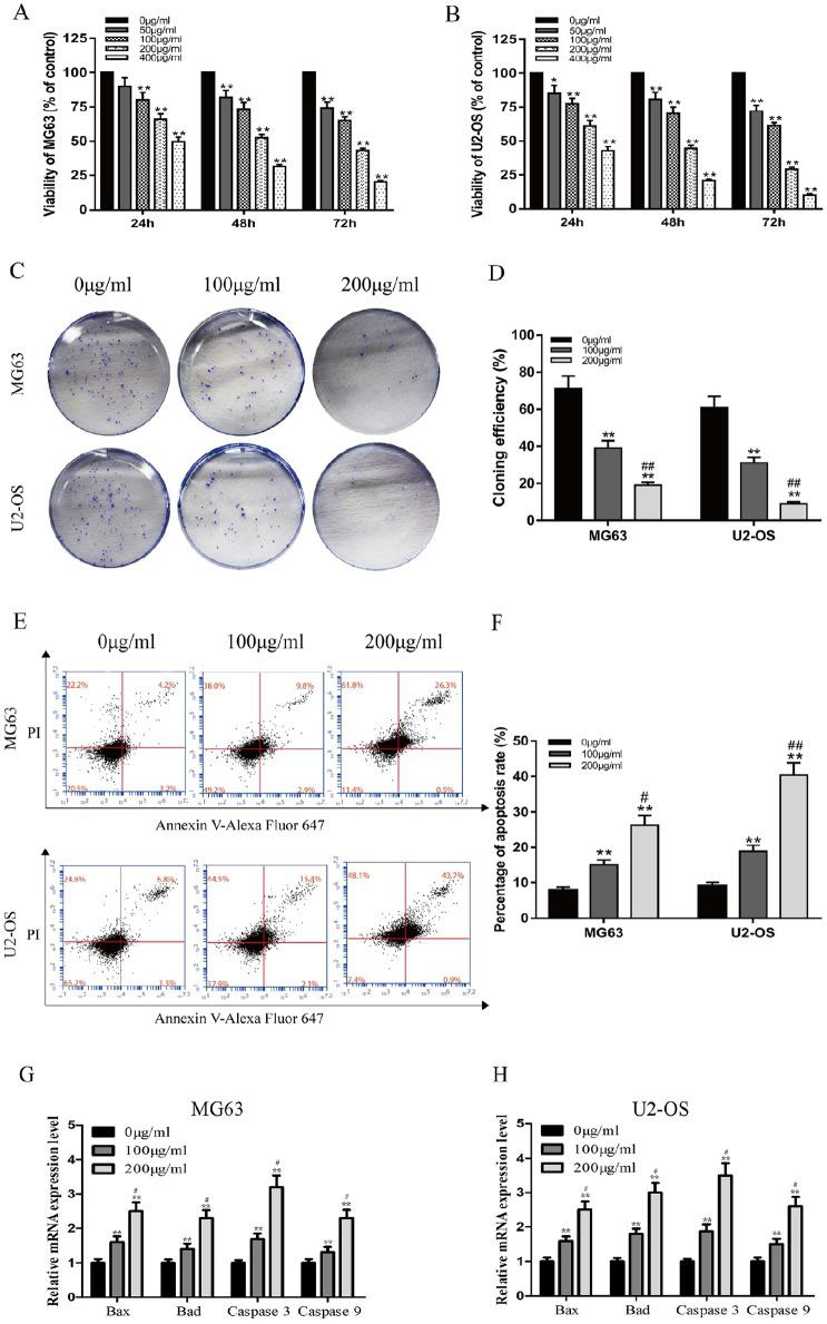 Ganoderma lucidum inhibits proliferation and induces apoptosis of <t>MG63</t> and U2-OS cells. (A, B) Viability of MG63 and U2-OS cells after treatment with various concentrations of G lucidum at different time points. (C, D) Cloning efficiencies of MG63 and U2-OS cells following treatment with 0, 100, or 200 µg/mL G lucidum for 12 days. (E, F) Analysis of apoptosis of MG63 and U2-OS cells after treatment with 0, 100, or 200 µg/mL G lucidum for 24 hours. (G, H) Changes in mRNA expression levels of Bax, Bad, caspase 3, and caspase 9 after treatment of MG63 and U2-OS cells with 0, 100, or 200 µg/mL G lucidum for 24 hours. N = 3, mean ± SD, * P