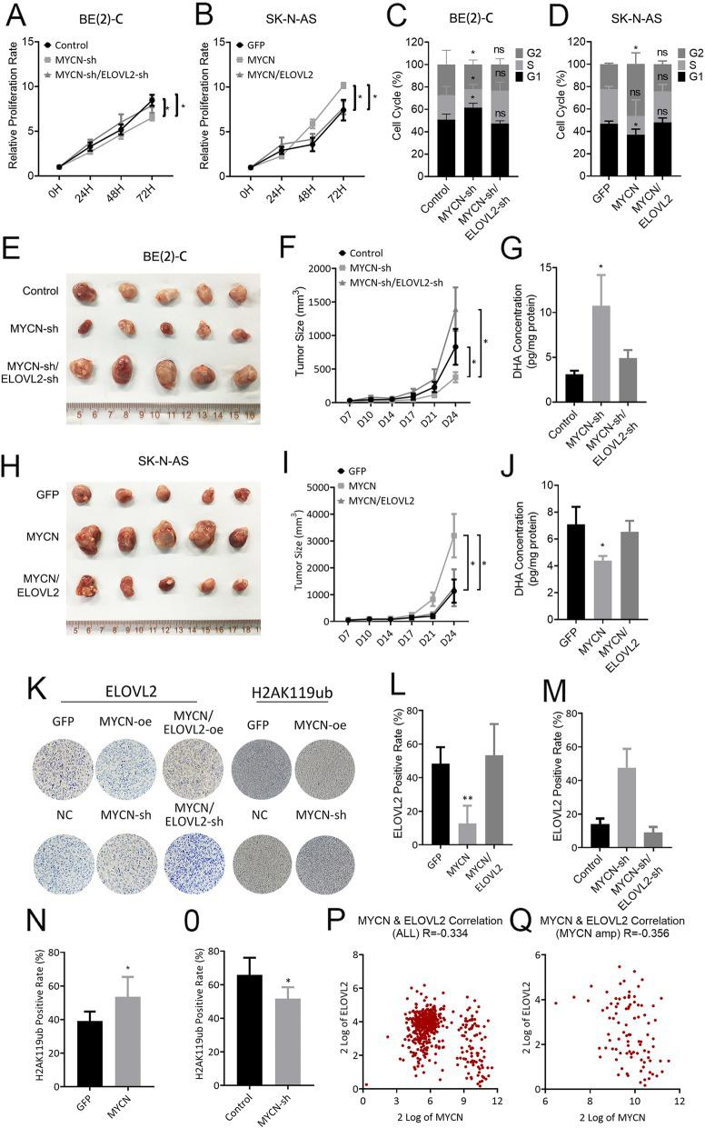 MYCN promotes tumor growth by repressing ELOVL2 in vitro and vivo. a and b BE(2)-C cells stably expressing the negative control or MYCN shRNA were further infected with a lentivirus expressing ELOVL2 shRNA. SK-N-AS cells stably expressing GFP or MYCN were further infected with a lentivirus expressing ELOVL2. The BE(2)-C ( a ) and SK-N-AS ( b ) cell proliferation rate was determined using <t>CCK-8</t> and a spectrophotometer at OD450. c and d BE(2)-C ( c ) and SK-N-AS ( d ) cells were treated as described in ( a ). Cells were stained with PI for 72 h, and the change in the cell cycle was measured by flow cytometry. e , f and g BE(2)-C were treated as described in ( a ) and injected subcutaneously into nude mice (n = 5 for each group). Tumors were compared ( e ) at the end of the experiment. Tumor growth curves ( f ) were measured starting at 7 days after inoculation. The DHA concentration of tumors ( g ) was measured by ELISA. h , i and j SK-N-AS were treated as described in ( a ) and injected subcutaneously into nude mice (n = 5 for each group). Tumors were compared ( h ) at the end of the experiment. Tumor growth curves ( i ) were measured starting at 7 days after inoculation. The DHA concentration of tumors ( j ) was measured by ELISA. k Representative IHC analysis of ELOVL2 and H2AK119ub protein expression in SK-N-AS cells stably expressing GFP or MYCN (up) and BE(2)-C cells stably expressing the negative control or MYCN shRNA (low). l , m , n and o The results of IHC analysis of ELOVL2 and H2AK119ub protein expression are presented as bar graphs of the mean number of the ELOVL2 and H2AK119ub positive rate. p and q ELOVL2 expression significantly correlated with MYCN expression in ALL (P) and MYCN (Q) amplification clinical tumor samples from the SEQC database. * P