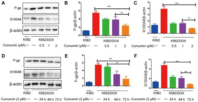 Curcumin downregulates P-gp and S100A8 protein expression in <t>K562/DOX</t> cells. (A) K562/DOX cells were treated with curcumin (0.5, 1 or 2 µM) for 48 h, and western blot analysis was performed to detect the protein expression levels of (B) P-gp and (C) S100A8. (D) K562/DOX cells were treated with curcumin (2 µM) for 24, 48 or 72 h, followed by western blot analysis of (E) P-gp and (F) S100A8 protein expression. **P