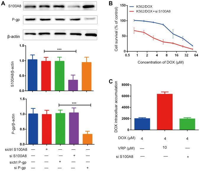 Silencing of S100A8 increases the sensitivity of K562/DOX cells to DOX, however S100A8 does not affect the expression of P-gp or vice versa . (A) Effects of silencing of S100A8 or P-gp on the protein expression of S100A8 and P-gp. (B) Effects of DOX on the viability of K562/DOX cells after silencing of S100A8. (C) Effects of S100A8-silencing on intracellular accumulation of DOX. ***P