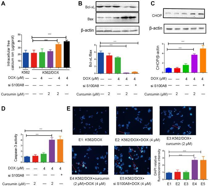 Addition of curcumin enhances apoptosis induced by DOX in K562/DOX cells. (A) Effects of curcumin (2 µM), DOX (4 µM) and si-S100A8 used alone or in combination on the intracellular free calcium ion concentration in K562/DOX cells. Effects of curcumin (2 µM), DOX (4 µM) and si-S100A8 used alone or in combination on the protein expression of (B) Bcl-xL, Bax and (C) CHOP in K562/DOX cells. (D) Effects of curcumin (2 µM), DOX (4 µM) and si-S100A8 used alone or in combination on caspase-3 activity. (E) K562/DOX cells were stained with DAPI after pre-treatment and observed under an inverted fluorescence microscope (magnification, ×40) and the relative fluorescence intensity analysis of DAPI was determined. DNA fragmentation is indicated by red arrows. ***P