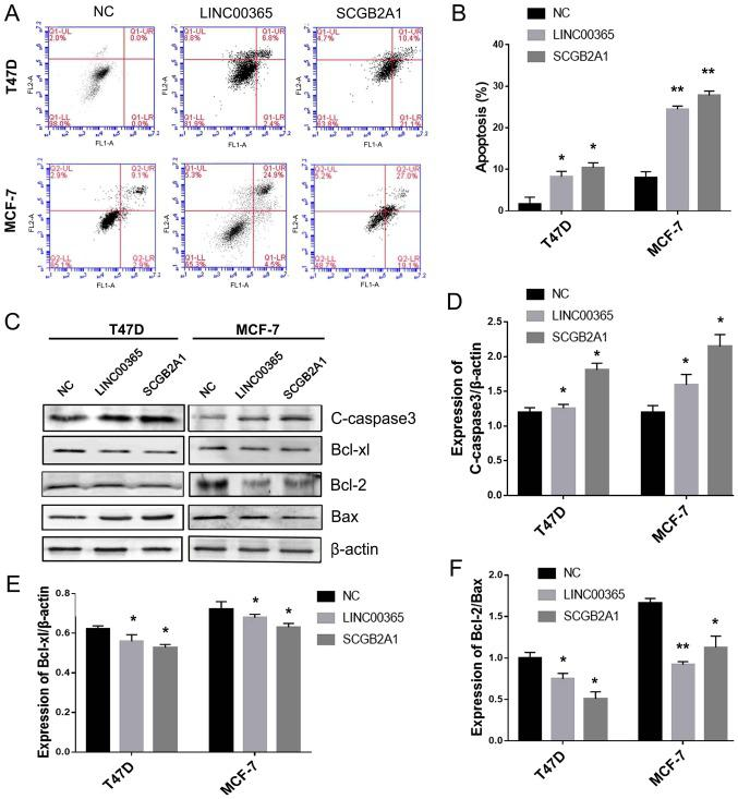 Overexpression of LINC00365 and SCGB2A1 induces apoptosis in breast cancer cells. (A) Apoptotic rate was determined by Annexin V/propidium iodide assay following transfection of MCF-7 and T47D cells with LINC00365- and SCGB2A1-expressing vectors. (B) Quantitative analysis of the apoptosis results. (C) Western blotting analysis of cleaved-caspase-3, Bcl-xl, Bcl-2 and Bax in MCF-7 and T47D cells following transfection with LINC00365- and SCGB2A1-expressing vectors. β-actin was used as an internal control. (D-F) The ratio of protein/β-actin in T47D and MCF-7 cells. *P