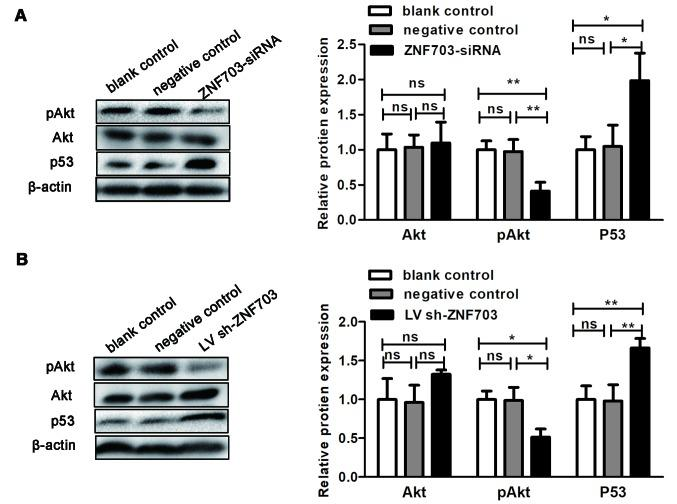 ZNF703 silencing regulates the levels of pAKT 473 and p53 protein in vitro and in vivo . (A) Akt, pAKT 473 and p53 protein expression in TT cells, with or without ZNF703 silencing, were determined by western blotting. Each data point represents the mean ± SD of three independent experiments. (B) Akt, pAKT 473 and p53 protein expression in xenograft tumors, with or without ZNF703 silencing, were determined by western blotting. Each data point represents the mean ± SD of six xenograft tumors. *P