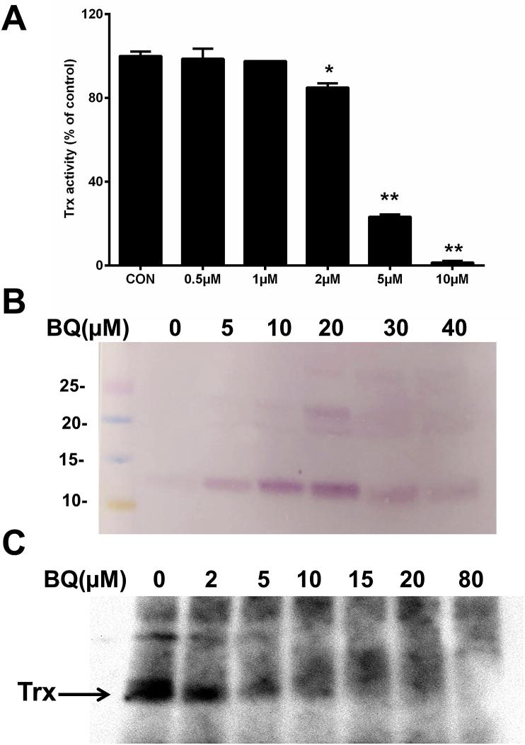 BQ-induced enzyme inactivation and covalent modification of purified <t>Trx1</t> protein. (A) Concentration-dependent inhibition of Trx1 activity by BQ. <t>DTT-reduced</t> Trx1 (2.5 μM) was incubated with BQ (0.5–10 μM) in 50 mM Tris-HCl containing 2 mM EDTA (pH 7.6), with Trx1 activity determined after 5 min of treatment. (B) BQ-induced quinoprotein detection. DTT-reduced Trx1 (10 μM) was incubated with BQ (5–40 μM) for 5 min in 50 mM Tris-HCl containing 2 mM EDTA (pH 7.6). Samples were analysed by SDS-PAGE followed by NBT redox staining. (C) Free thiol detection using BEI labelling. DTT-reduced Trx1 (5 μM) was incubated with BQ (2–80 μM) for 5 min in 50 mM Tris-HCl containing 2 mM EDTA (pH 7.6). Samples were incubated with BEI (250 μM) in dark for 30 min at 37 °C, then analysed by SDS-PAGE followed by incubation with horseradish peroxidase-conjugated streptavidin and enhanced chemiluminescence detection. * p