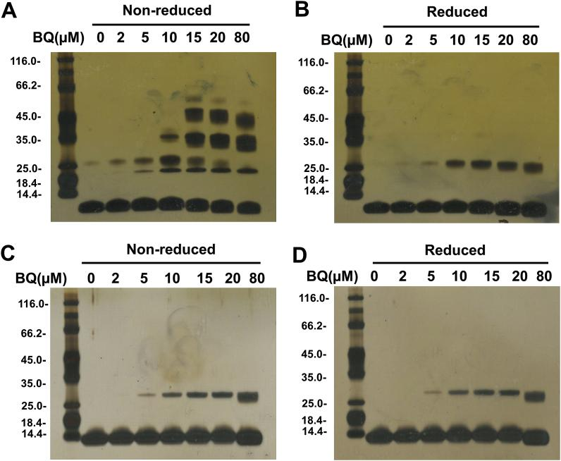 BQ-induced protein cross-linking. Human Trx1 (5 μM, A and B) and E. coli Trx (5 μM, C and D), pre-treated with DTT, were incubated with BQ (2–80 μM) for 5 min in 50 mM Tris-HCl containing 2 mM EDTA (pH 7.6). Samples were analysed under non-reducing (A and C) and reducing (B and D) conditions, and then analysed by SDS-PAGE with silver staining. Representative images from 3 independent experiments are shown in each panel.