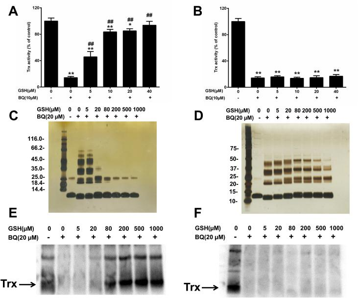 Effect of GSH on BQ-induced enzyme activity loss, protein cross-linking and modification. Panels A, C, E: DTT-reduced Trx1 (2.5 μM) was incubated with BQ (20 μM) in the presence of GSH (5–1000 μM) for 5 min in 50 mM Tris-HCl containing 2 mM EDTA (pH 7.6). The samples were split into three portions. The remaining Trx activity was measured (panel A), samples were analysed by SDS-PAGE followed by silver staining (panel C), or incubated with BEI (250 μM) in dark for 30 min at 37 °C, then analysed by SDS-PAGE followed by treatment with horseradish peroxidase-conjugated streptavidin and enhanced chemiluminescence detection (panel E). Panels B, D, F: DTT-reduced Trx1 (2.5 μM) was incubated with BQ (20 μM) for 5 min in 50 mM Tris-HCl containing 2 mM EDTA (pH 7.6), then GSH (5–1000 μM) was added and incubated for another 5 min. The samples were then split into three portions and analysed, as described above, for remaining Trx activity (panel B), by SDS-PAGE followed by silver staining (panel D), or incubated with BEI (250 μM) in dark for 30 min at 37 °C, then analysed by SDS-PAGE followed by treatment with horseradish peroxidase-conjugated streptavidin and enhanced chemiluminescence detection (panel F). Data (mean ± standard deviations) from 3 independent experiments are presented in panels A and B. Representative images from 3 independent experiments are shown in panels (C - F). * p