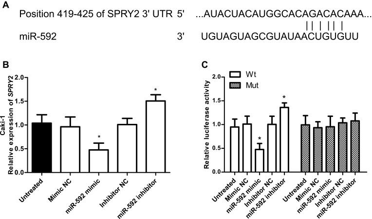 Identification of SPRY2 as a direct target of miR-592 in RCC cells. ( A ) Sequence alignment of miR-592 and the 3ʹ-UTR of SPRY2. ( B ) The qRT-PCR analysis was conducted to detect the SPRY2 mRNA in Caki-1 cells transfected with miR-592 mimic, mimic NC, miR-592 inhibitor, or inhibitor NC. Differences were analyzed using one-way ANOVA followed by Tukey's post-hoc test. ( C ) Luciferase reporter assay in Caki-1 cells that were co-transfected with miR-592 mimics, mimic NC, miR-592 inhibitor, or inhibitor NC and Wt-type SPRY2 3ʹ-UTR vector of Mut-type vector. Differences were analyzed using one-way ANOVA followed by Tukey's post-hoc test. * P