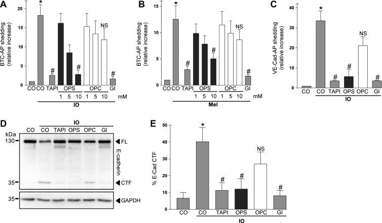 PS interaction is required for ADAM10 activation. ( A and B ) COS7 cells were transfected with the AP-tagged ADAM10 substrate BTC and stimulated with ionomycin (IO, 1 μM; A ) or melittin (Mel, 0.5 μM; B ) for 30 min. Shedding was dose-dependently reduced by addition of the competing phosphatidylserine head group (OPS) but not by the head group of phosphatidylcholine (OPC). OPS (10 mM), broadspectrum metalloprotease inhibitor TAPI-1 (10 μM), and ADAM10 inhibitor GI (3 μM) significantly abrogated the induced shedding. ( C ) COS7 cells were transfected with the AP-tagged ADAM10 substrate VE-cadherin and stimulated with ionomycin for 30 min in the presence of OPS (10 mM), OPC (10 mM), TAPI-1 (10 μM), or ADAM10 inhibitor GI (3 μM) and analysed for substrate shedding. ( D ) Shedding of full-length (FL) E-cadherin was monitored by immunoblot analysis. HaCaT keratinocytes were stimulated with ionomycin (1 μM) in the presence of TAPI-1 (10 μM), OPS (10 mM), OPC (10 mM), or ADAM10 inhibitor GI (3 μM). ( E ) Densitometric quantification of E-cadherin C-terminal fragment (CTF) generation of three independent western blots. * indicates a significant increase compared to unstimulated cells; # indicates significant decrease compared to stimulated control ( P