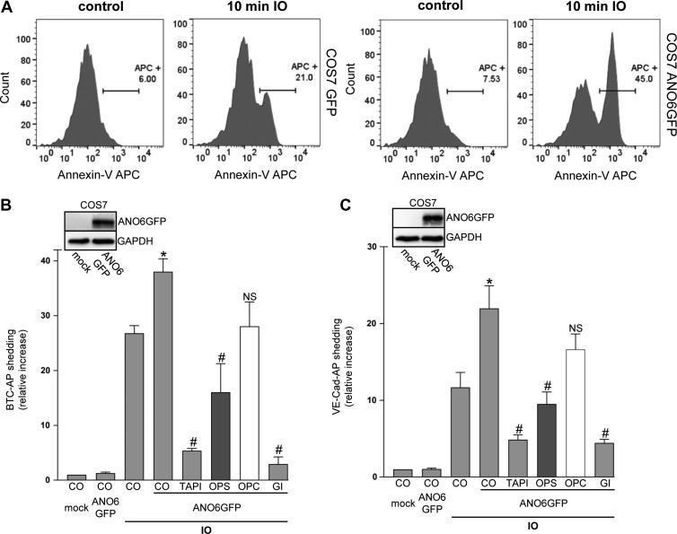Overexpression of ANO6 enhances ADAM10 sheddase activity upon calcium influx. ( A ) Mock-transfected and Anoctamin-6 (ANO6)-GFP-transfected COS7 cells were stimulated with ionomycin (IO, 1 μM) for the indicated time. After stimulation, cells were stained with Annexin V-APC and analysed via FACS analysis. ( B and C ) COS7 cells were co-transfected with ANO6-GFP or mock vector and the AP-tagged ADAM10 substrates BTC or VE-cadherin, respectively. Cells were stimulated with IO (1 μM) for 30 min. IO-induced shedding was significantly increased upon overexpression of ANO6. TAPI (10 μM), ADAM10 inhibitor GI (3 μM), and OPS (10 mM), but not OPC (10 mM), significantly abrogated the induced shedding. * indicates a significant increase compared to mock-transfected stimulated cells; # indicates significant decrease compared to ANO6-transfected stimulated control cells ( P