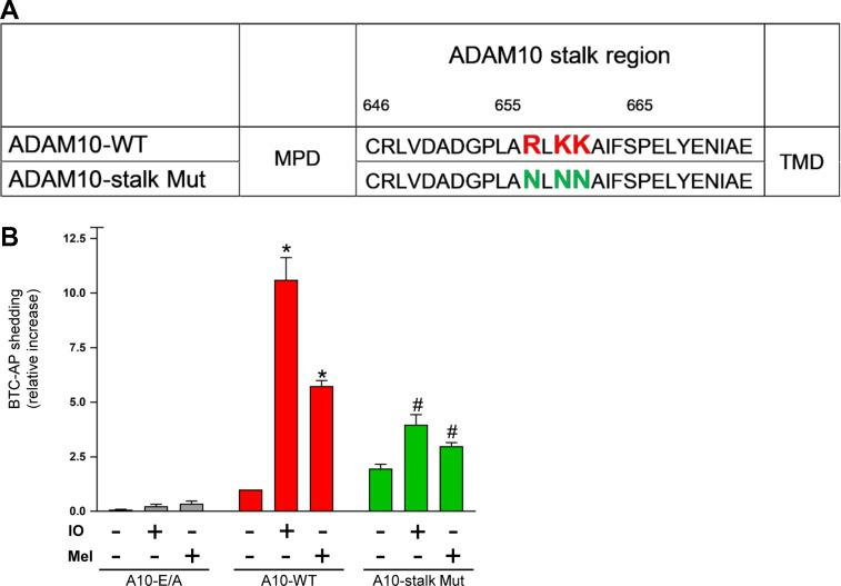 Deletion of cationic amino acids in the ADAM10 stalk region impairs sheddase function. ( A ) A potential PS-binding motif (R657/K659/K660) was exchanged creating an ADAM10 stalk mutant (ADAM10-stalk Mut). ( B ) ADAM17/ADAM10 double-deficient HEK cells were co-transfected with BTC-AP and WT-ADAM10 (A10-WT), inactive ADAM10 (A10 E/A), or ADAM10 mutant and stimulated with ionomycin (IO, 1 μM) or melittin (Mel, 1 μM) for 30 min. AP-activity in the supernatant was calculated in relation to total (supernatant and cell pellet) AP activity and is shown in comparison to A10-WT as 'control'. * indicates a significant increase compared to unstimulated cells; # indicates significant decrease compared to A10-WT transfected stimulated cells ( P