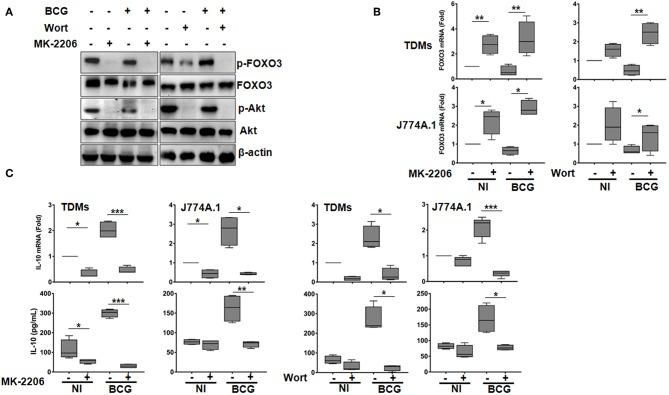 The PI3K/Akt axis regulates BCG-induced IL-10 secretion in macrophages. Human TDMs and mice J774A.1 macrophages were mock-treated or infected with BCG at an MOI = 10 for 3 h, washed then treated or not with the PI3K inhibitor, Wortmannin (Wort, 100 nM), or with the Akt inhibitor, MK-2206 (5 μM) for 24 h. (A) Inactivation of PI3k/Akt axis was determined, 24 h post infection/treatment, in whole cell lysate of TDMs by western blotting using the indicated anti-phospho specific antibodies. Total Akt, FOXO3, and β-actin were used as loading controls. Shown are representative images of three independent experiments with similar results. (B) FOXO3 mRNA expression were quantified by qRT-PCR in both TDMs and J774A.1 macrophages. Levels of mRNA were normalized to GAPDH and fold induction was calculated relative to uninfected and untreated cells. (C) Assessment of IL-10 transcription and secretion levels, after the indicated treatments, were quantified by qRT-PCR and sandwich ELISA, respectively. For all panels, results are represented in box and whiskers plot format min to max and are representative of three independent experiments, each one carried out in triplicate. Asterisks indicate statistical significance (* p