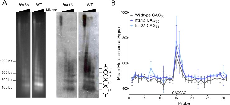 Nucleosome positioning at a (CAG) 85 repeat is not altered in the absence of H2A.1 or H2A.2. A ) Indirect end-labeling of nucleosomal <t>DNA</t> upstream of the CAG repeat. <t>MNase</t> (0, 0.25, 2.5, and 7.5 units) digested DNA was run in 1.5% agarose with ethidium bromide (left) and Southern blotted (right) using a probe ~100 bp proximal to the CAG repeat (red line Figure 1—figure supplement 1A ). Ovals represent nucleosome positions. The experiment was repeated six times; a representative blot is shown. ( B ) Illumina array mapping of nucleosome protection at the CAG repeat. Mononucleosomal DNA from strains containing the (CAG) 85 repeats was hybridized to a custom array of 30-mer probes spanning 425 bp upstream of the repeat to 436 bp downstream of the repeat in YAC CF1. Probes 14–16 contain CAG repeats; probe 15 is composed purely of CAG repeats (probe sequences in Supplementary file 3 ). Error bars represent standard deviation of 2–3 independent experiments.