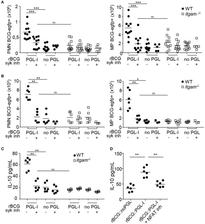 rBCG::PGL-I targeting CR3 triggers Syk and NFATc in vivo . (A,B) WT and itgam −/− mice were nasally infected with 5 × 10 6 CFUs of fluorescent rBCG::PGL-I or rBCG::noPGL, and received two nasal doses of Syk inhibitor GS-9973 administered 1 h before and after bacteria. BAL and lung tissues were harvested 24 h later to analyze cells by flow cytometry. (A,B) Numbers of Ly-6G + , CD11c − PMNs and Ly-6G − , CD11c + MPs harboring BCG-EGFP + recovered from the lung parenchyma from 11 individuals (A) or BAL from 12 individuals pooled per 2 (B) . (C) IL-10 produced in situ by lung cells was analyzed by ELISA in the first BAL from 12 individuals pooled per 2. (D) WT mice received two nasal doses of CsA 1 h before and 1 h after rBCG::PGL-I or rBCG::noPGL inhalation, to block NFATc translocation. IL-10 produced in situ by lung cells was analyzed as in (C) . Data are represented as individual values from n = 11 (A) or n = 6 (B–D) from two independent experiments. ** P
