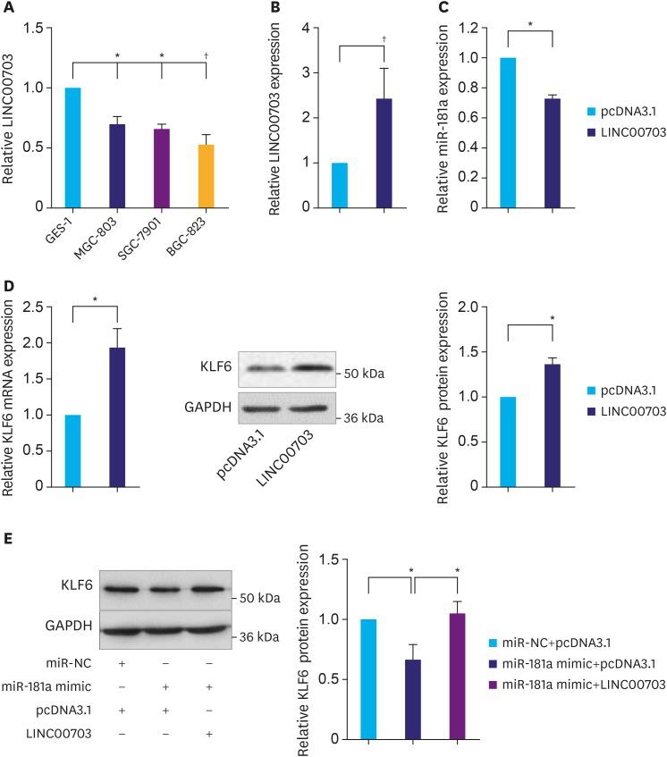 LINC00703 regulates KLF6 expression. (A) The qRT-PCR analysis, demonstrating LINC00703 expression in several gastric cancer cell lines (MGC-803, SGC-7901, and BGC-823), compared with normal gastric epithelium cell line (GES-1). (B) LINC00703 expression analysis in BGC-823 cells, transfected with pcDNA3.1 or LINC00703-overexpressing vector (LINC00703). (C and D) Expression levels of miR-181a and KLF6 after 48 hours, following the transfection of pcDNA3.1 or LINC00703 in BGC-823 cells. (E) The KLF6 protein level in BGC-823 cells, transfected with miR-181a mimic, LINC00703 or both miR-181a mimic and LINC00703. All data are presented as means±standard deviation (n=5, biological replicates). LINC00703 = long noncoding RNA 00703; KLF = Kruppel-like factor; qRT-PCR = quantitative real-time polymerase chain reaction. * P