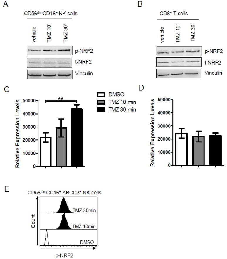 ( A , B ) Representative western blot analysis performed on enriched ( A ) NK and ( B ) CD8 + T cells from donor PBLs showing that 25 μM of TMZ increased the activation of NRF2 (phosphoSer40) after 30 min of treatment. Vinculin was used as loading control. The immunoblot is representative of three experiments. ( C , D ) Densitometric quantification of p-NRF2 expression in NK cells and CD8 + T cells treated with DMSO or TMZ at two different time points. Data are presented as mean ± SD of three independent experiments at the two different time points ( p = 0.004). ( E ). Flow cytometry stacked histograms showing intracellular staining of p-NRF2 in donor-derived CD56 dim CD16 + ABCC3 + . The DMSO treatment is represented as light grey histogram plot. The activation of NRF2 at 10 and 30 min is displayed in dark grey and black, respectively.