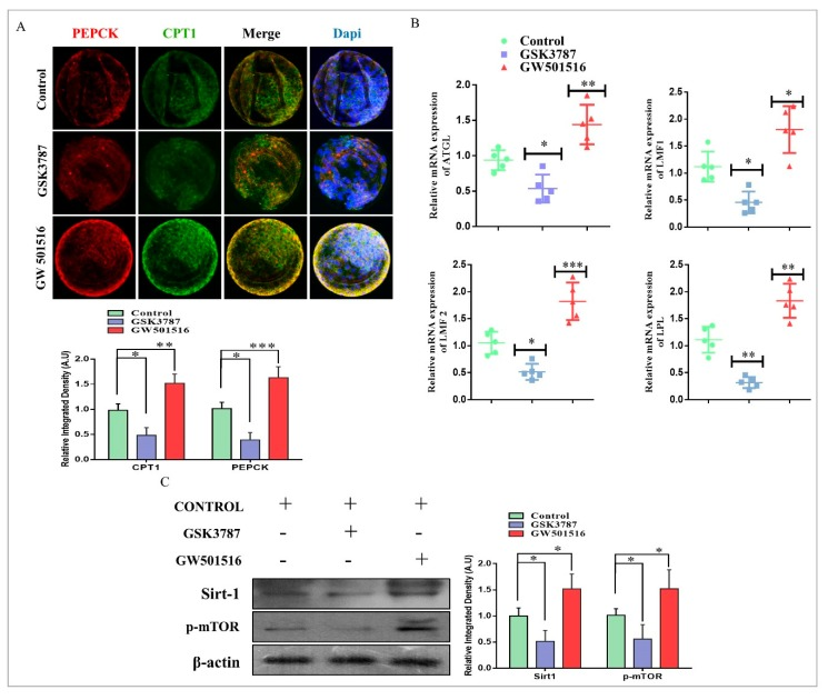PPARδ reversibility and lipid metabolism in bovine embryos. ( A ) Immunofluorescent co-localization of PEPCK and CPT1 in control-, GSK3787-, and GW501516 IVC-treated day-8 blastocysts (15 per group). The original magnification is ×200. ( B ) RT-qPCR-based mRNA quantification of ATGL, LMF1, LMF2, and LPL in day-8 blastocysts (five per sample). ( C ) Western blot analysis of SIRT1 and p-mTOR in control-, GSK3787-, and GW501516 IVC-treated blastocysts (20 per group). The experiments were repeated three times, and the data are shown here as mean ± S.E.M. * p