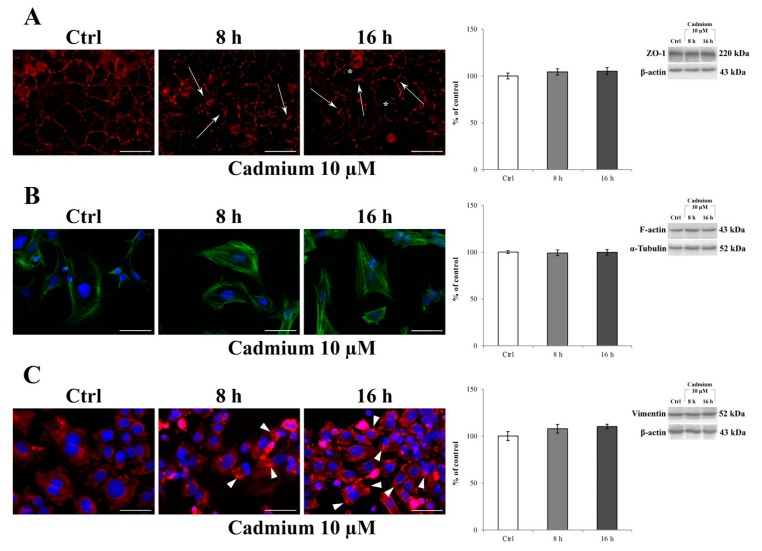 Effect of CdCl 2 on ZO-1, F-actin, and vimentin localization in RBE4 cells. On the left: changes in the distribution of ZO-1 (red) ( A ), F-actin (green) ( B ), and vimentin (red) ( C ) in RBE4 cells treated with 10 μM CdCl 2 for 8 and 16 h. Asterisks show holes formed between endothelial cells. In ( A ), arrows point to morphological alterations in intercellular junctions, indicative for loss of junctional function. In ( B ), note the Cd-dependent appearance of numerous stress fibers. In ( C ), Cd-dependent polarization of vimentin with the formation of clumps and aggregates (arrowheads) at the edges of the cell. Nuclei were stained with DAPI (blue). Total magnification 400×; n = 135; scale bar: 50 μm. On the right: representative western blot of the effects of CdCl 2 on ZO-1, F-actin, and vimentin protein levels after 8 and 16 h of treatment. Bars represent the mean ± S.E.M., n = 4. Control condition was arbitrarily set at 100%.