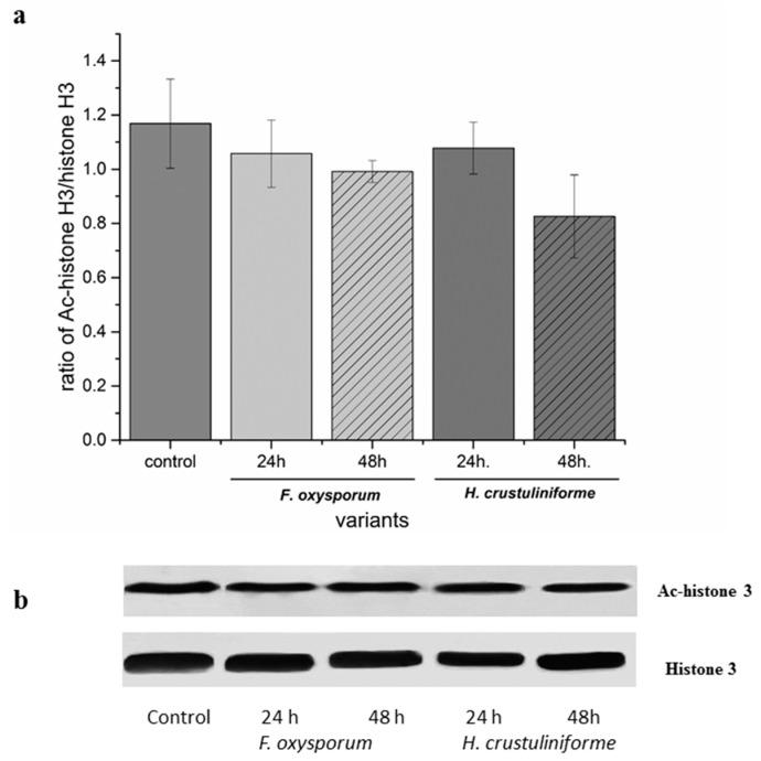 The effect of metabolites of pathogenic ( Fusarium oxysporum ) vs. mycorrhizal ( Hebeloma crustulinofrome ) fungi on histone acetylation in P. sylvestris root cells. Control roots were only treated with filter paper. ( a ) The proportion of acetylated histone H3 to non-acetylated histone H3. Bars and whiskers represent the mean ± SE, respectively. ( b ) Western-blot analysis of the effect of different siderophores on the proportion of acetylated histone H3 vs. non-acetylated histone H3 (the uncut gels can be found in the Supplementary ).