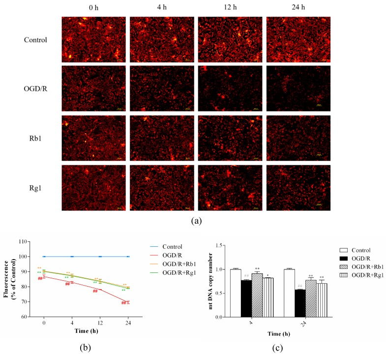 Rb1 and Rg1 attenuated the mitochondrial membrane potential (MMP) depolarization and increased the mitochondrial DNA (mtDNA) content in oxygen-glucose deprivation/reoxygenation (OGD/R)-treated astrocytes. After 6 h of OGD, astrocytes were reoxygenated for 0, 4, 12, or 24 h. ( a , b ) Cells were collected to detect the MMP. After 6 h of OGD, astrocytes were reoxygenated for 4 or 24 h. ( c ) Cells were collected to examine the mtDNA copy number by real-time quantitative PCR. Rb1 (5 µM) and Rg1 (10 µM) administration attenuated the MMP depolarization and increased the mtDNA content. The values are expressed as the mean ± SD ( n = 3). ## p