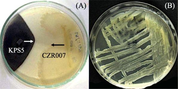 Antifungal activity and herbicide tolerance of Bacillus sp. CZR007. The antifungal activity of isolate CZR007 was tested against the fungus, Bipolaris sp. KPS5 on potato dextrose agar ( a ). The herbicide tolerance of isolate CZR007 was confirmed by checking viability of the bacterium on <t>Luria-Bertani</t> agar medium supplemented with 1.60 mL of a herbicide, Clomazone ( b )