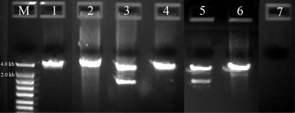 PCR Amplification of 3.3 to 4.2 kb of rDNA from agriculturally important nematodes. M: DNA markers; 1: Heterodera orientalis 104F80; 2: Xiphinema sp. 104F83; 3: Hoplolaimus sp. 104G35; 4: Helicotylenchus sp. 104G36; 5: Meloidogyne incognita Me47; 6: Pratylenchus scribneri Pr1 and 7: Negative control.