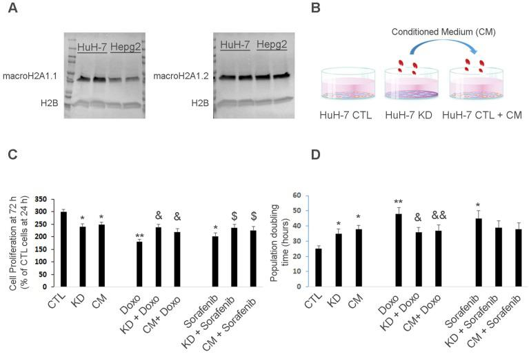 Huh-7 macroH2A1 KD cells confer chemoresistance to parental cells in a paracrine manner. A. Nuclear fractions isolated from CTL HepG2 or Huh-7 cells, were processed for immunoblotting with anti-macroH2A1.1, anti-macroH2A1.2 and anti-H2B antibodies. B. Three experimental conditions: control (CTL), KD and CTL cells plus KD conditioned medium (CM). C. MTT assay in CTL, KD or CTL + CM cells incubated with or without vehicle (DMSO), 2 µM Doxorubicin (Doxo) or 1 µM Sorafenib for 72 h. Data represent the mean cell proliferation ± s.d. relative to CTL cells at 24 h. N=4. D. Population doubling time in CTL, KD or CTL + CM cells incubated with or without vehicle (DMSO), 2 µM Doxorubicin (Doxo) or 1 µM Sorafenib for 72 h. Data represent the mean cell proliferation ± s.d. N=3.*P