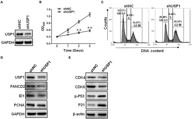 Knockdown of ubiquitin specific protease 1 (USP1) induces growth arrest in colorectal cancer cells. (A) HCT116 cells were stably infected with shNC or shUSP1-expressing lentivirus and prepared for immunoblotting against USP1. GAPDH was used as a loading control. (B) HCT116 cells were stably infected with shNC or shUSP1-expressing lentivirus, and examined with CCK-8 staining at day 0, 1, 3, or 5. (C) HCT116 cells were stably infected with shNC or shUSP1-expressing lentivirus and subjected to cell cycle by Propidium Iodide (PI) staining and flow cytometer analysis. (D,E) HCT116 cells stably infected with shNC or shUSP1-expressing lentivirus were prepared for immunoblotting against CDK4, CDK6, p-P53, P21, USP1, FANCD2, ID1, and PCNA. GAPDH and β-actin were used as a loading control. * p
