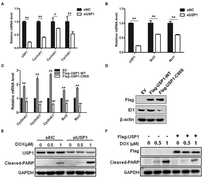 Ubiquitin specific protease 1 (USP1) regulated the expression of cell cycle and anti-apoptosis proteins. (A) Knockdown of USP1 decreased the expression of cyclins. siNC and siUSP1 were transfected into HCT116 cells for 24 h, followed by qRT-PCR against USP1, CyclinA1, CyclinD1, and CyclinE1. β-actin was used as an internal control. (B) Knockdown of USP1 reduced the expression of Bcl-2 and Mcl-1. HCT116 cells transfected with siNC or siUSP1 for 24 h were prepared for qRT-PCR against USP1, Bcl2, and Mcl1. β-actin was used as an internal control. (C,D) Expression of wild-type but not mutated USP1 upregulated cyclins. Empty vector (EV), Flag-USP1-WT or Flag-USP1-C90S plasmids were transfected into HCT116 cells for 48 h, followed by qRT-PCR against CyclinA1, CyclinD1, CyclinE1, Bcl2, and Mcl1 (C) , and immunoblotting against Flag and ID1. (D) β-actin was used as an internal control. (E) siNC and siUSP1 were transfected into HCT116 cells for 24 h. After treatment with doxorubicin (DOX) for 24 h, the cells were prepared for analyzing the expression of USP1, cleaved-poly(ADP-ribose) polymerase (PARP) and GAPDH by immunoblotting. (F) HCT116 cells were transfected with empty vector or Flag-USP1 for 24 h. After treatment with DOX for 24 h, the cells were analyzed by immunoblotting against Flag, cleaved-PARP and GAPDH. * p