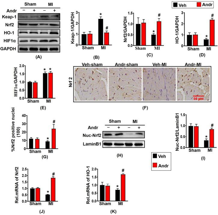 Andr suppressed oxidative stress after myocardial infarction by enhancing Nrf2/HO-1 pathway in mice. A-E . Representative Western blot analysis of Keap-1, Nrf2, HO-1 and HIF1α (A) and average fold-change (B-E) in the hearts (n=6 per groups). F and G . Immunohistochemical staining of Nrf2 in the indicated groups 3 weeks post-MI surgery or sham (F) and the Nrf2 positive cell for quantitative analysis (G) in mouse hearts. H and I . Representative blots and histogram of Nrf2 expression in the nuclei (n =6 per groups). J and K . Real-time PCR analysis of Nrf2 and HO-1. *P