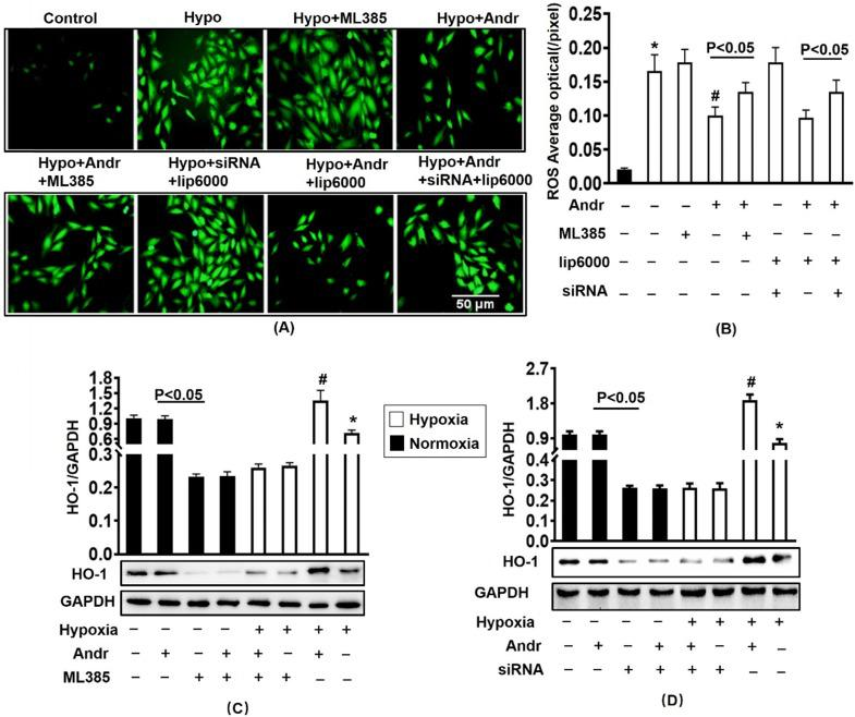 Nrf2 inhibition abolished the anti-oxidant effect of Andr in vitro . H9C2 Cardiomyocytes were transfected with siRNA for Nrf2 or Nrf2 inhibitor ML385 for 24h, followed by treatment with tri-gas incubator (Panasonic, Japan) or Andr for another 24h. A and B . DCFH-DA staining (10μmol/L at 37°C for 20 min, ROS Assay Kit, Biyotime) and fluorescence intensity quantification were performed on H9C2 in indicated condition in vitro . C-D . Representative blots and histogram of HO-1 expression in each group (n=6). ∗P