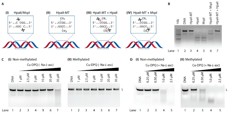 ( A ) Cartoon representation of enzyme restriction sites. ( B ) Control experiment with isoschizomers HpaII and MspI in the presence and absence of HpaII-MT. ( C ) A quantity of 400 ng of 798 bp linear sequence ( I non-methylated and II methylated) treated with Cu-DPQ in the absence of reductant. ( D ) 400 ng of 798 bp linear sequence ( I non-methylated and II methylated) treated with Cu-DPQ in the presence of reductant Na- L -asc.