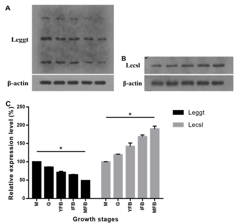 ( A ) Protein levels of Leggt at five stages of growth. ( B ) Protein levels of Lecsl at five stages of growth. ( C ) Relative expression of Leggt and Lecsl during five growth stages. β-actin protein was used as loading control, and the expressions during the M stage were taken as 100%. M, mycelia; G, grey; YFB, young fruiting body; IFB, immature fruiting body; MFB, mature fruiting body. Error bars indicate standard deviation for three independent experiments. * p