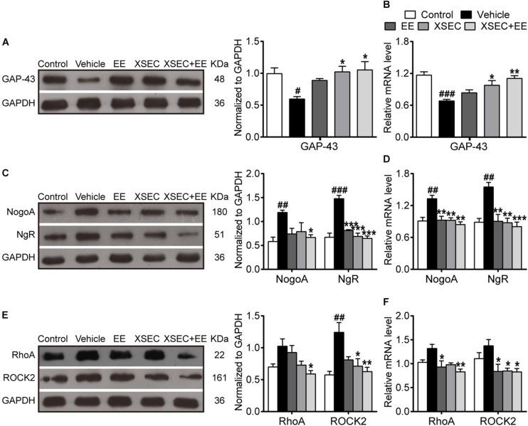 Effect of XSEC or EE and their combination on the expressions of <t>GAP-43,</t> NogoA/NgR and RhoA/ROCK2 in MCAO rats. Quantitative analysis of the protein (A,C,E) and mRNA (B,D,F) levels of GAP-43, NogoA/NgR, and RhoA/ROCK2, respectively (one-way ANOVA followed by Bonferroni's post hoc test, n = 4 per group). # P