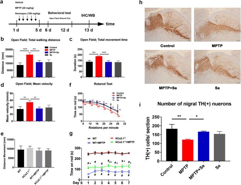"""Genetic KCa3.1 deletion and pharmacological blockade with senicapoc attenuate MPTP-induced loss of DA neurons. a – g WT or KCa3.1 −/− mice received sequential intraperitoneal injections of MPTP (20 mg/kg) with or without senicapoc (100 mg/kg, once daily, p.o.) treatment for 5 days as described in the """" Material and methods """" section. Open field test ( b – e ) and the rotarod test ( f , g ) for bradykinesia were performed. Behavioral tests for MPTP-induced bradykinesia were conducted on the indicated days. Data are presented as mean ± SEM ( n = 10–15). b – e ** p"""