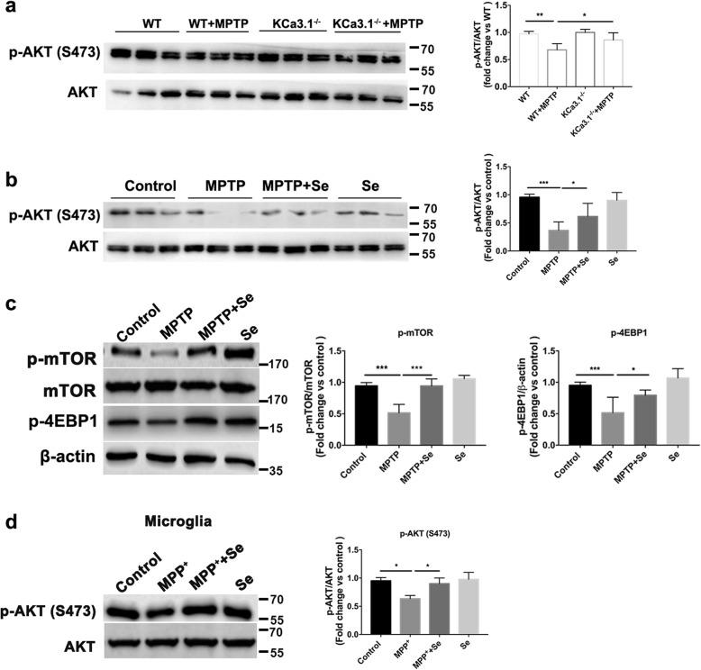 AKT modulation is crucial for KCa3.1-mediated ER stress in microglia. a , b Representative blots of p-AKT and total AKT in SNpc from a WT, WT+MPTP, KCa3.1 −/− , KCa3.1 −/− +MPTP group mice and from b control, MPTP, MPTP+Se, Se group mice. Data are presented as the mean ± SEM ( n = 3–5). Western blot was repeated three times and showed similar results. The OD value of p-AKT was normalized to that of AKT. * p