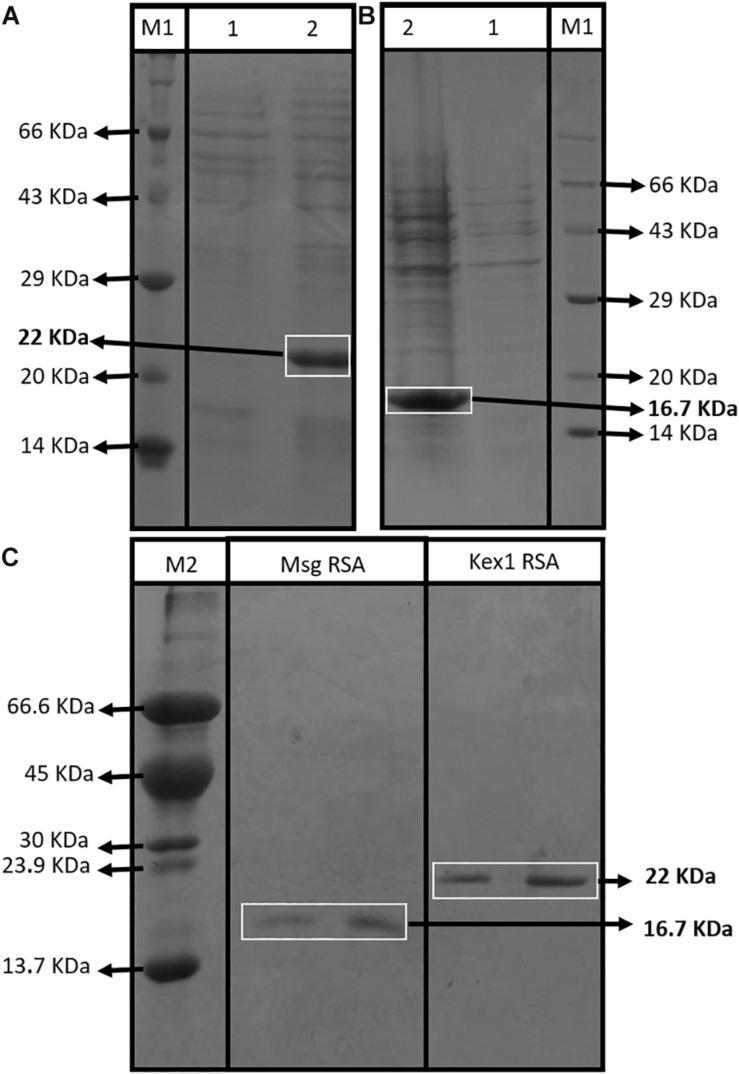"Assessment of the RSA expression and purification process. SDS-PAGE profiles of non-induced (1) and induced (2) E. coli XJb (DE3) cells transformed with the expression vector with the Kex1 RSA (A) and the Msg RSA (B) ; and SDS-PAGE profiles of purification products of the Msg RSA and Kex1 RSA, after IMAC protocol (C) . Two different protein molecular weight standards were used, the Roti § -Mark standard from Carl-Roth § (M1) and one produced ""in house"" (M2). The bands of interest and their theoretical molecular weight are highlighted (16.7 kDa for Msg RSA and 22 kDa for Kex1 RSA)."