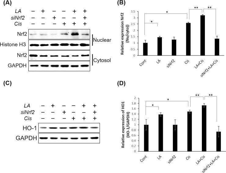 Alpha-lipoic acid (LA) promoted the nuclear translocation of NRF2. The relative nuclear to cytoplasmic NRF2 expression ratio was significantly increased by cisplatin and was further increased by pretreatment with 0.5 mM LA. However, this increase was reversed by siRNA treatment (A), (B). The expression of HO-1 protein in HEI-OC1 cells was also significantly increased by cisplatin and further increased by LA co-treatment, but not increased when cells were treated with siRNA (C), (D). Data are the means ± SD from three independent experiments performed in duplicate. * P