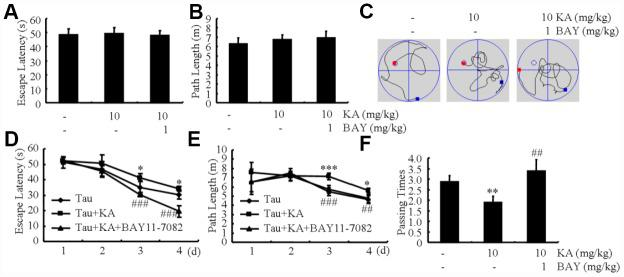 Bay11-7082 mitigates KA-induced memory deficits in the Morris water maze test. ( A , B ) During the first 2 days of visible platform tests, the KA and Bay11-7082 treated and control MAPT Tg mice exhibited a similar latency to escape onto the visible platform. P > 0.05 with Student's t-test. ( C , D ) In the hidden platform tests, KA-treated MAPT mice showed a longer latency and length to escape onto the hidden platform on the 3 rd and 4 th days, which was ameliorated by the addition of Bay11-7082 on the 4 th day. * P