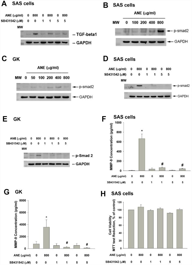 Role of TGF-β and Smad2 signaling on ANE-induced MMP-9 expression/secretion of oral epithelial cells. ( A ) Stimulation of TGF-β protein expression of SAS cells by ANE (800 μg/ml) and its attenuation by SB431542 (1 and 5 μM), ( B ) ANE (100-800 μg/ml) stimulated Smad2 phosphorylation of SAS cells after 24-hr of exposure, ( C ) ANE (50-800 μg/ml) stimulated Smad2 phosphorylation of GK after 24-hr of exposure, ( D ) SB431542 (1 and 5 μM) attenuated the ANE (800 μg/ml)-induced p-Smad2 expression of SAS cells, ( E ) SB431542 attenuated the ANE (800 μg/ml)-induced p-Smad2 expression of GK, ( F ) SB431542 prevented the ANE (800 μg/ml)-induced MMP-9 secretion of SAS cells, ( G ) SB431542 prevented the ANE (800 μg/ml)-induced MMP-9 secretion of GK, ( H ) SB431542 showed little effect on ANE (800 μg/ml)-induced cytotoxicity of SAS cells (as % of control, 100%). *denotes statistically significant difference when compared with control. #denotes statistically significant difference when compared with ANE-treated group.
