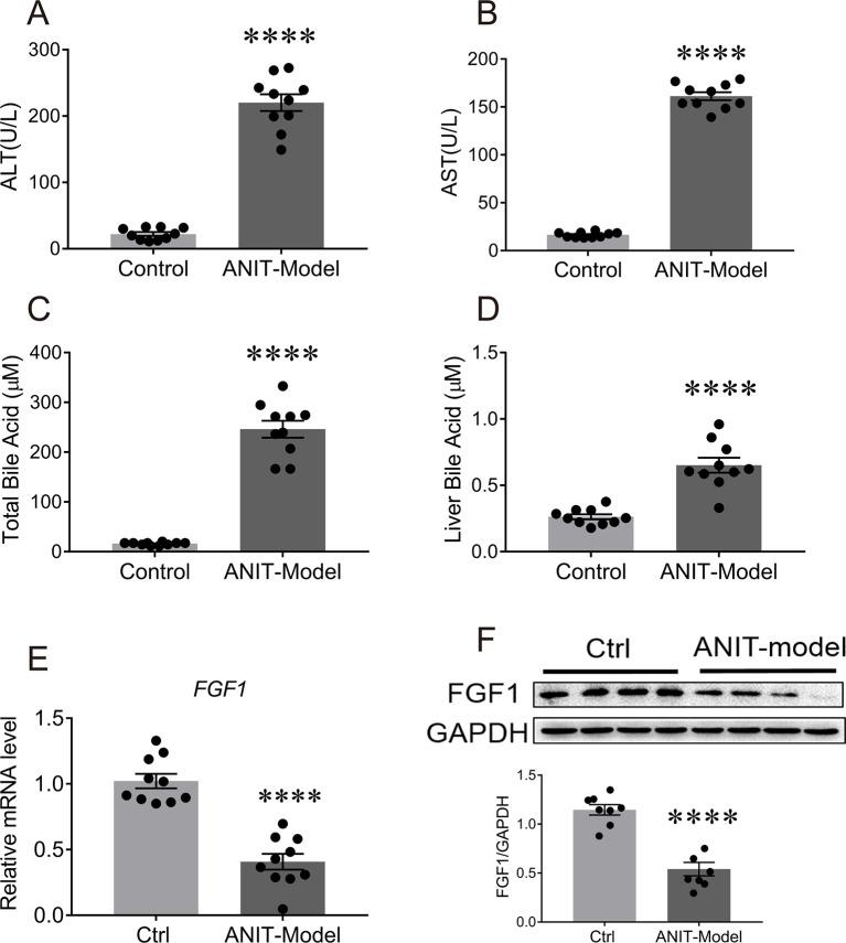The mRNA and protein levels of FGF1 in liver were downregulated in the ANIT-induced intrahepatic cholestasis mouse model. Eight-week-old C57BL/6J mice were orally administrated with olive oil (control group) or 75 mg/kg ANIT (cholestasis mouse model) for once and then liver tissues were collected and analyzed after 48 h. (A , B) Evaluation of liver function as determined by serum levels of ALT and AST. (C , D) Serum BA concentrations (C) and hepatic BA pool (D) of each group were measured. (E) The levels of hepatic FGF1 gene expression of each group were examined by real-time polymerase chain reaction (RT-PCR); (F) Representative western blot analysis (up panel) and densitometric quantification (down panel) of FGF1 protein expression in liver tissues from ANIT-induce intrahepatic cholestasis mouse model and control group; data are normalized to GAPDH. Data are presented as mean ± SEM; ****p