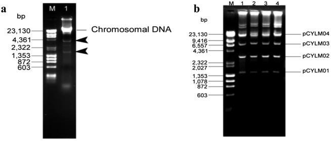 (a) Agarose gel (0.8%) electrophoresis of total DNA extracted from Cylindrospermum stagnale . Arrows indicate the extra chromosomal DNA. M – λ DNA- Hin dIII digest and ϕ x174 DNA- Hae III digest Mix (Finnzymes); Lane 1 – Total DNA of Cylindrospermum stagnale . (b) Agarose gel (0.8%) electrophoresis of plasmid DNA isolated from Cylindrospermum stagnale. Lane M – λ DNA- Hin dIII digest and ϕ x174 DNA- Hae III digest Mix (Finnzymes) ; Lanes 1 to 4 – Plasmid profile of Cylindrospermum stagnale isolated from different batches of cultures.