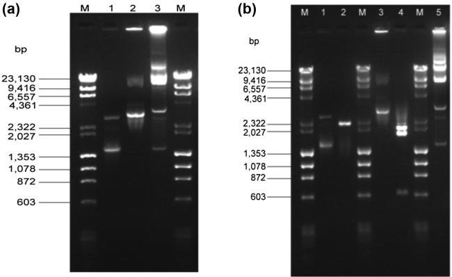 (a) Agarose gel (1%) electrophoresis of plasmids pCYLM01 and pCYLM02 obtained by gel elution. Lane M - λ DNA- Hin <t>dIII</t> and ϕ x174 DNA- Hae III digest Mix (Finnzymes); Lane 1 – Plasmid pCYLM01; Lane 2 – Plasmid pCYLM02; Lane 3 – Plasmids of Cylindrospermum <t>stagnale.</t> (b) Agarose gel (1%) electrophoresis of plasmids pCYLM01 and pCYLM02 digested with Hin dIII restriction enzyme. Lane 1 – Undigested plasmid pCYLM01; Lane 2 – pCYLM01 plasmid digested with Hin dIII; Lane 3 – Undigested plasmid pCYLM02; Lane 4 – pCYLM02 plasmid digested with Hin dIII; Lane 5 – Total plasmid of Cylindrospermum stagnale.