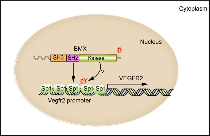 Schematic model of BMX regulates VEGFR2 transcription by interaction with <t>Sp1.</t> The SH2/SH3 domain of BMX confers its nuclear localization in ECs. Nuclear BMX in an active form interacts with (and possibly phosphorylates) Sp1 to facilitate the recruitment of Sp1 to the VEGFR2 promoter and its transcription in ECs