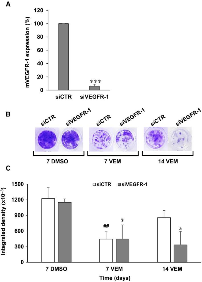 Influence of VEGFR‐1 silencing on the acquisition of resistance to vemurafenib by A375 cells. A, A375 cells were transfected with 10 nmol/L siVEGFR‐1 or siCTR and after three days total RNA was extracted and membrane VEGFR‐1 (mVEGFR‐1) transcript levels were assessed by qRT‐PCR analysis. Data are the mean of three independent determinations. Statistical analysis by two‐tailed Student's t test: *** P