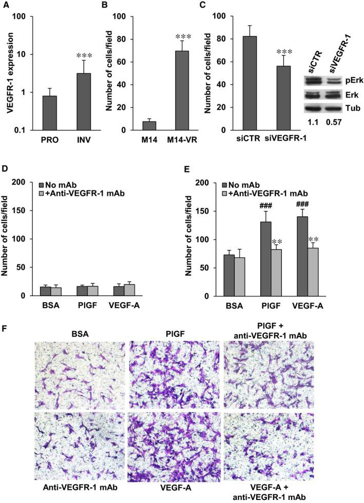 Expression of VEGFR‐1 in melanoma cells with proliferative or invasive phenotypes and inhibitory effect of the anti‐VEGFR‐1 mAb D16F7 on ECM invasion by M14‐VR melanoma cells in response to PlGF or VEGF‐A. A, HOPP analysis based on VEGFR‐1 expression levels was carried out using gene expression data sets including 189 melanoma cell lines and short‐term cultures, of which 100 are characterized by a proliferative phenotype and 89 by an invasive phenotype. 33 Mean VEGFR‐1 transcript levels for proliferative (PRO) melanomas were compared with those of invasive melanomas (INV) and expressed as normalized signal intensity. Analysis of the 222033_s_at probeset for VEGFR‐1:3.9‐fold significant difference; statistical analysis by two‐tailed Student's t test: *** P
